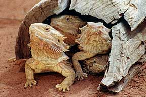 Alice Springs Reptile Centre - Kalgoorlie Accommodation
